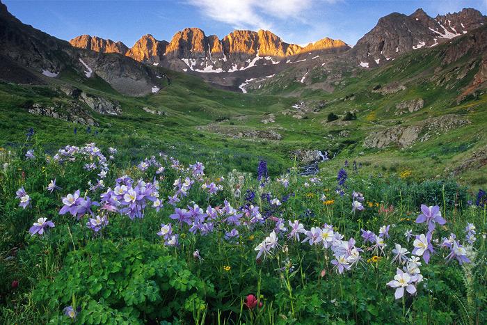 Classic Colorado: American Basin Columbines