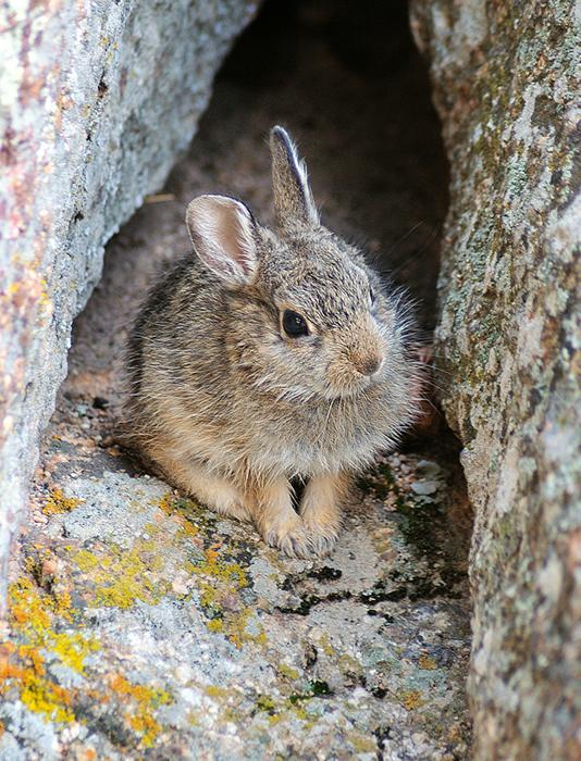 Lumpy Ridge Rabbit, Rocky Mountain National Park
