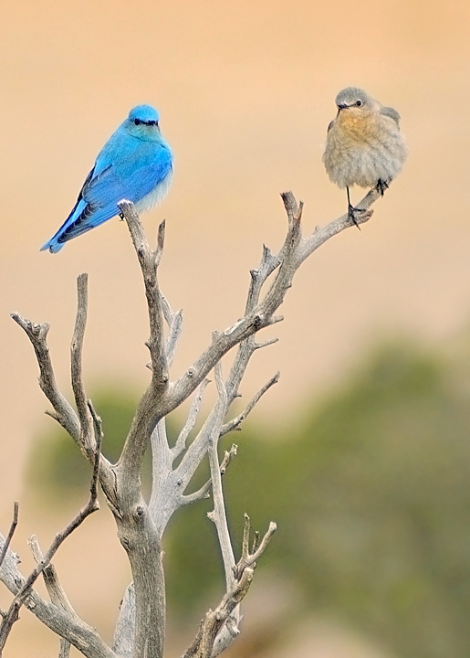 The Bluebirds are back in Buena Vista, Colorado