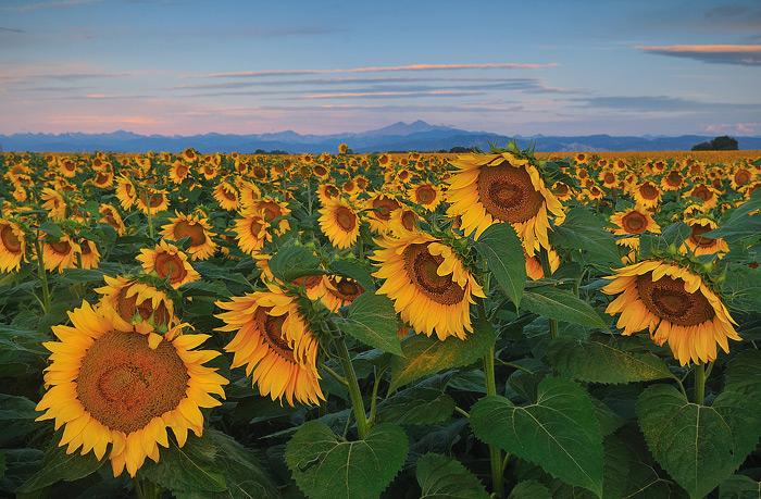 Sunflower field east of Loveland, Colorado