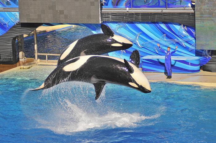 The Shamu Show at Sea World San Diego.