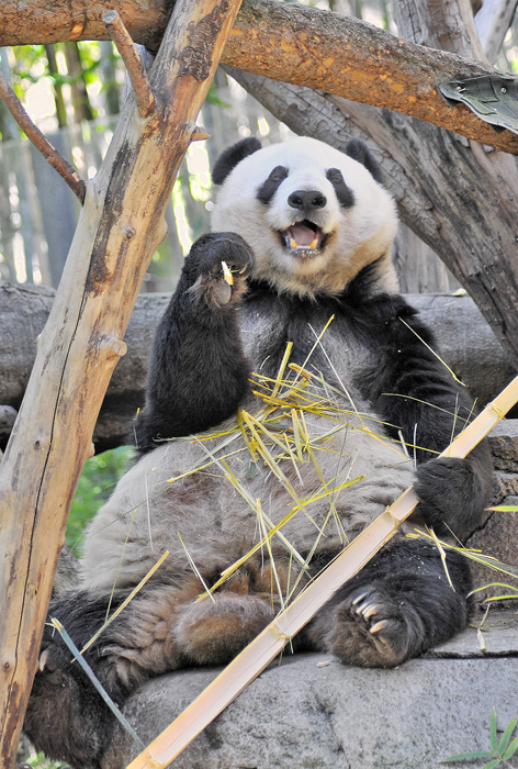 Gao Gao, one of the San Diego Zoo's famous giant pandas, is getting his fill of bamboo.