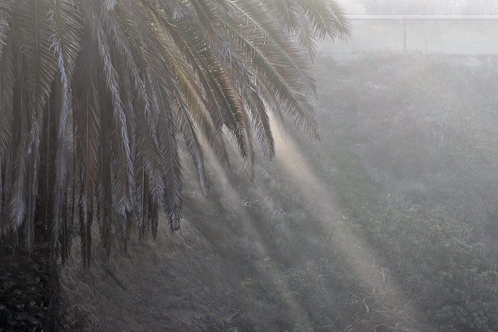 A foggy mist blows through a palm tree near La Jolla.
