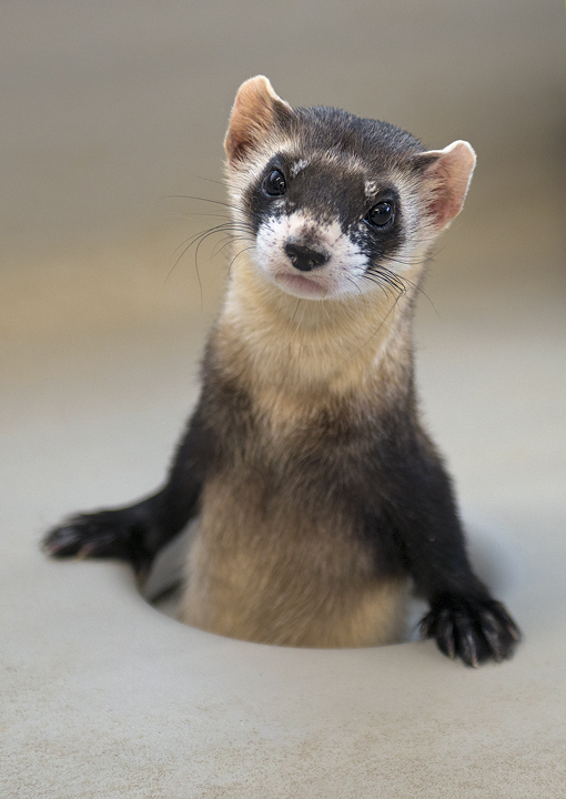 Black Footed Ferret Recovery Center