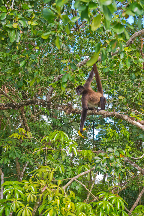 Spider Monkey, New River, Belize