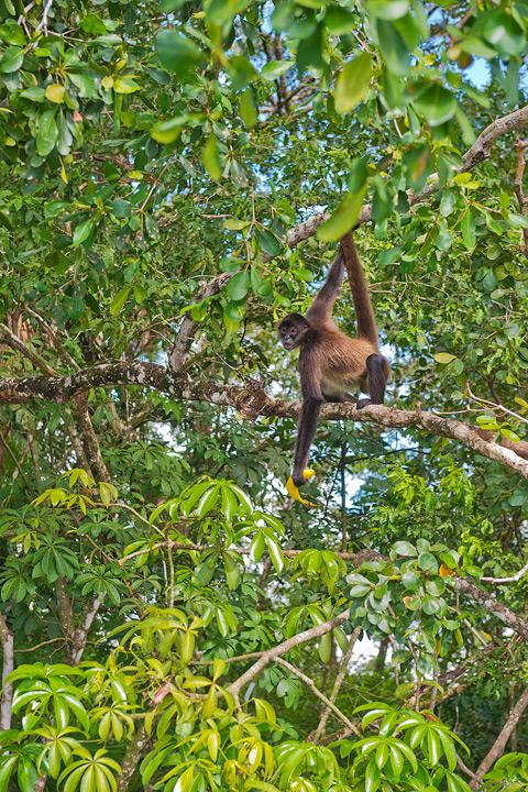 Spider Monkey, New River, Belize